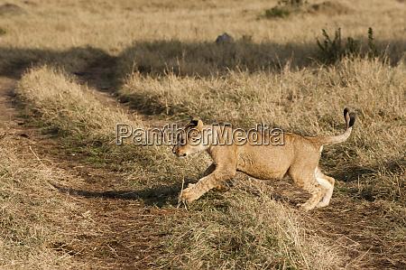lion cub panthera leo masai mara