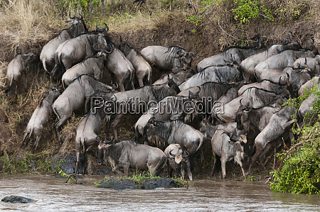 wildebeest connochaetes taurinus crossing the river