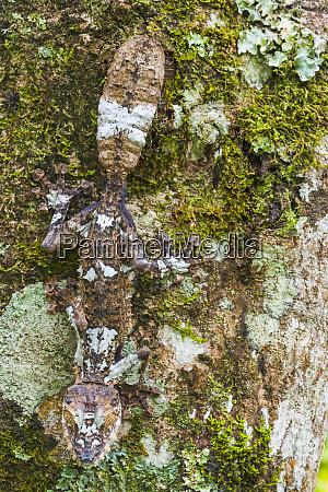 leaf tailed province madagascar