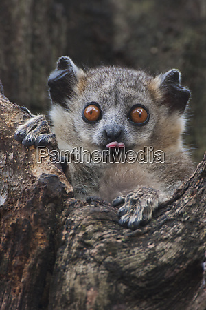 white footed sportive lemur madagascar
