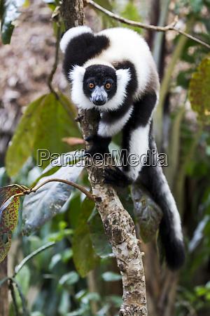 africa madagascar akaninny nofy reserve black