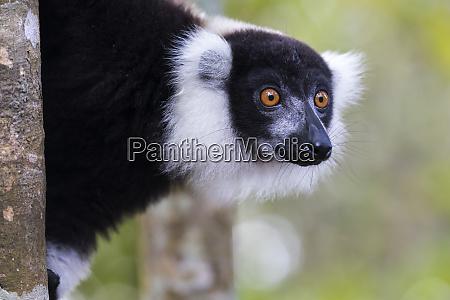 africa madagascar akaninny nofy reserve portrait