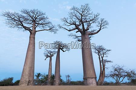 africa madagascar morondava baobab alley baobab