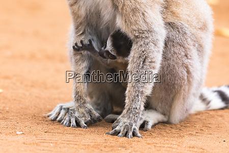 africa madagascar amboasary berenty reserve baby