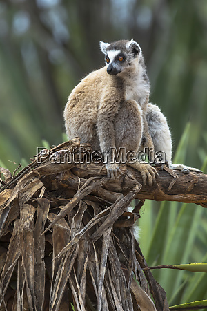 africa madagascar amboasary berenty reserve portrait