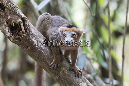 africa madagascar akaninny nofy reserve male