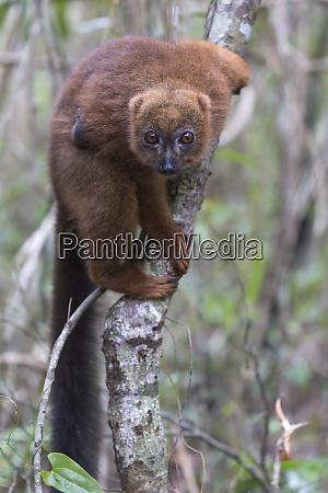 africa madagascar akaninny nofy reserve female