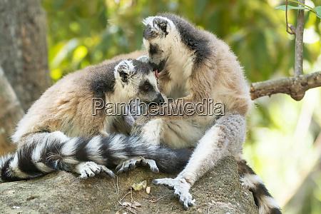 africa madagascar isalo national park two
