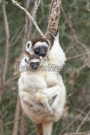 africa madagascar anosy region berenty reserve