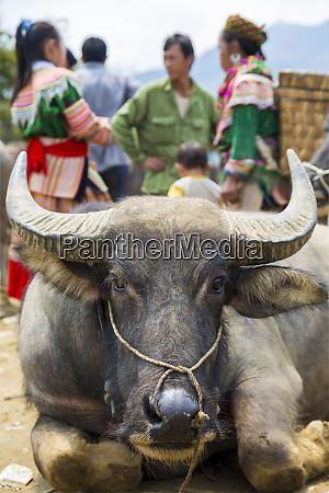 water buffalo bubalus bubalis at sunday