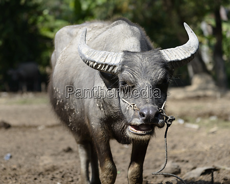 cambodia siem reap buffalo large format