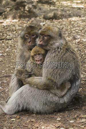 morocco high atlas mountains adult macaque