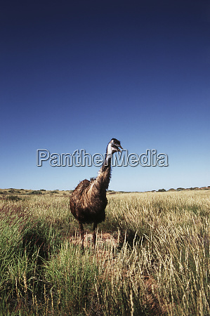 western australia emu dromaius novaehollandiae flightless