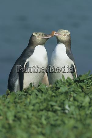yellow eyed penguin megadyptes antipodes endemic