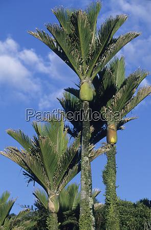 nikau palm tree rhopalostylis sapida