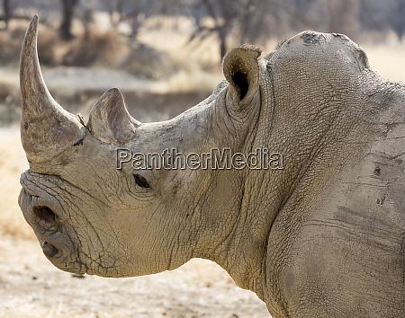 africa namibia windhoek okapuka ranch rhinoceros