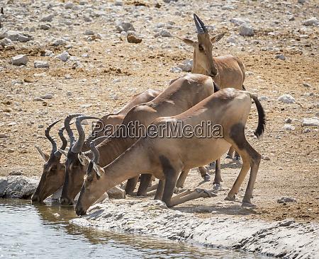 africa namibia etosha national park hartebeest