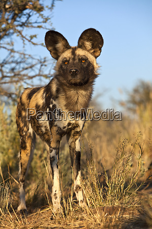 africa namibia wild dog close up