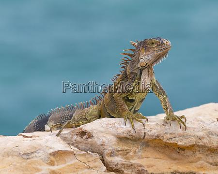 green iguana cabo rojo cliffs in