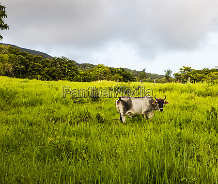 st kitts caribbean curled horned cow