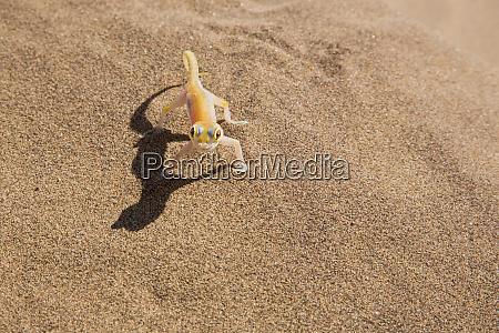 africa namibia namib desert palmetto gecko