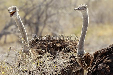 africa namibia etosha national park pair