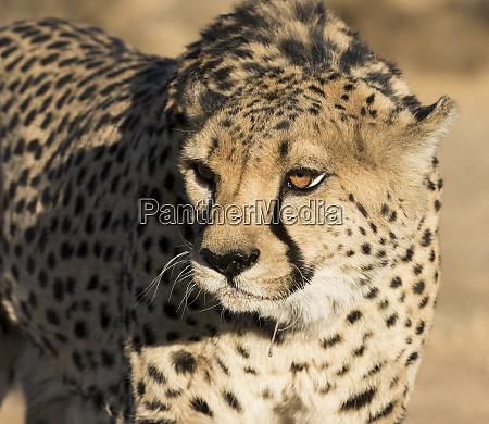 africa namibia keetmanshoop portrait of cheetah