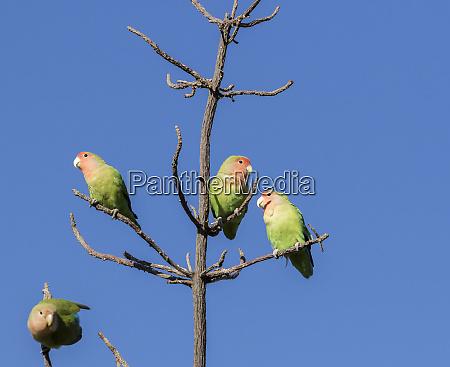 africa namibia keetmanshoop rosy faced lovebirds