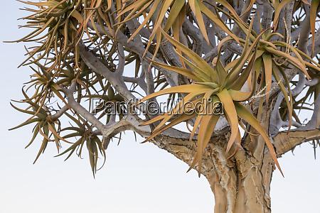 africa namibia keetmanshoop quiver tree top