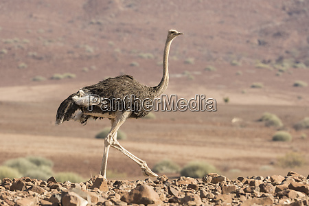 africa namibia damaraland ostrich walking in