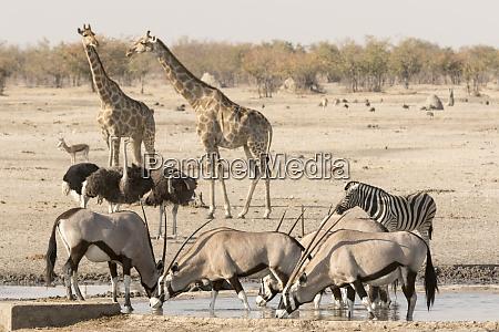africa namibia etosha national park various