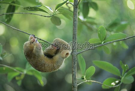 silky anteater cyclopes didactylus west indies