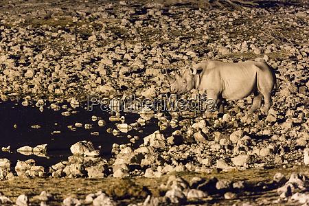 black rhino diceros bicornis visits the