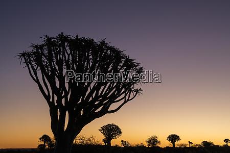 namibia a quiver tree actually a