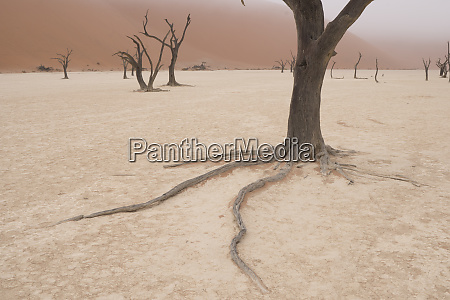 ancient dead camelthorn acacia trees survived