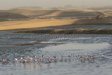 lesser flamingos phoenicopterus minor feed in