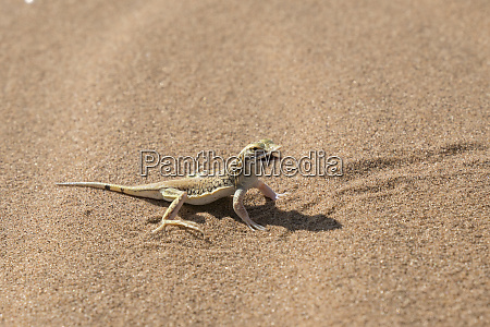 reticulate desert lizard meroles reticulates poised