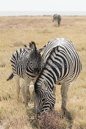 mother burchells zebra grazes while her