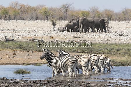 burchells zebras equus quagga burchellii and