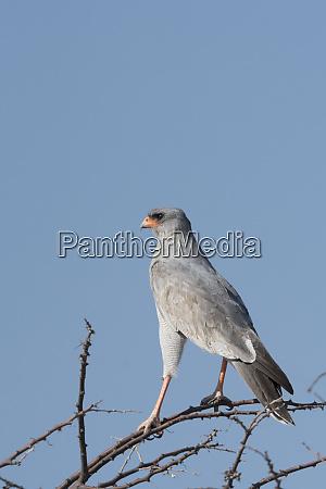 pale chanting goshawk perches atop an