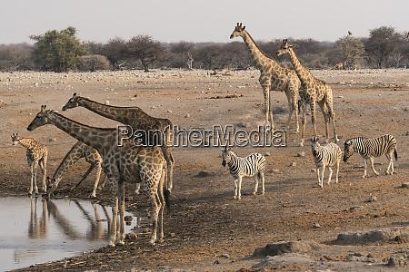 giraffe giraffa camelopardalis angolensis and burchells