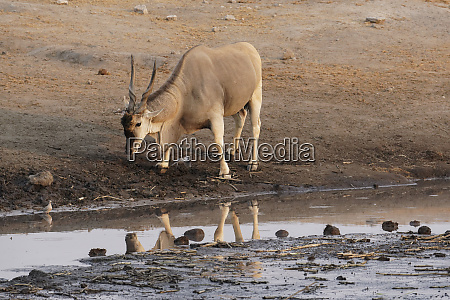 eland taurotragus oryx an uncommon sighting