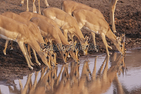 common impala aepyceros melampus are reflected