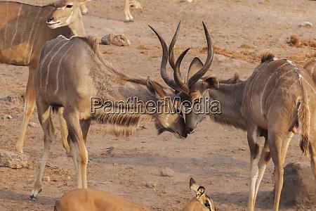 two kudu tragelaphus strepsiceros sparring near