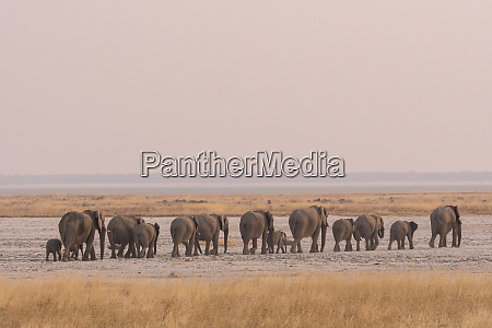 elephant herd heads out across etoshas