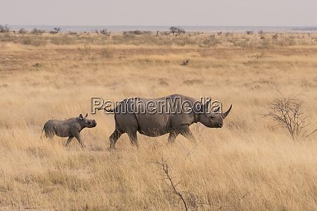 female black rhinoceros diceros bicornis with
