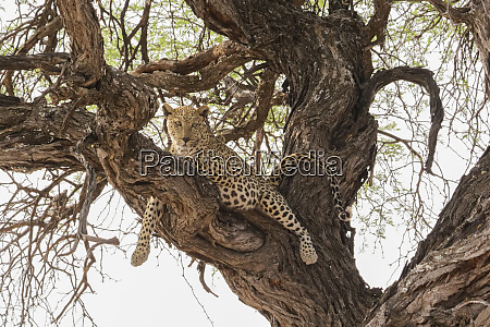 wild leopard resting in tree in