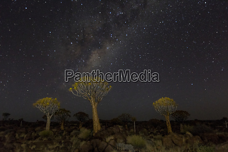 quiver trees landscape at night with