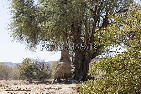 africa, , namibia, , damaraland., african, elephant, reaching - 27745526