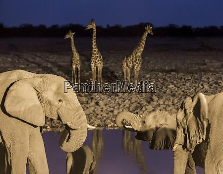 africa, , namibia, , etosha, national, park., elephants - 27745311
